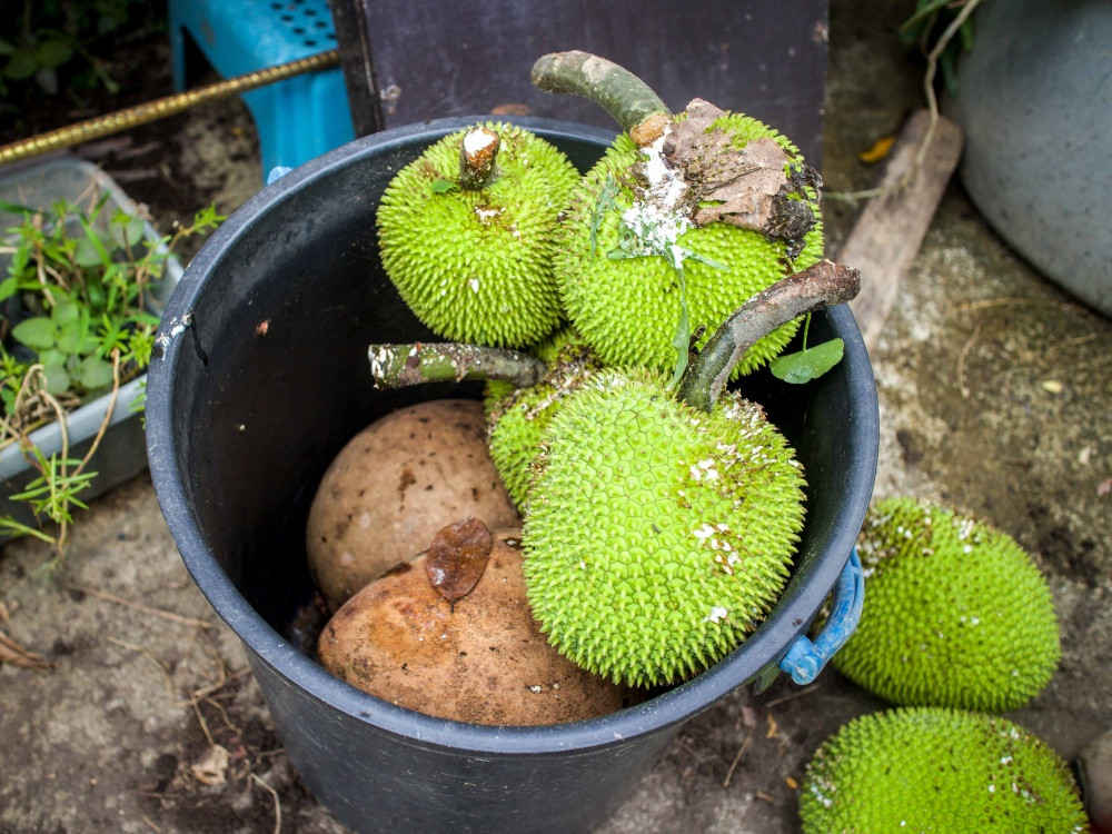Pn Norhanida's fresh fruit harvest. Bambangan (bottom) and kamansi or sukun or breadfruit (top). She mentions that kamansi braised in coconut milk is a delicious way of having the fruit.