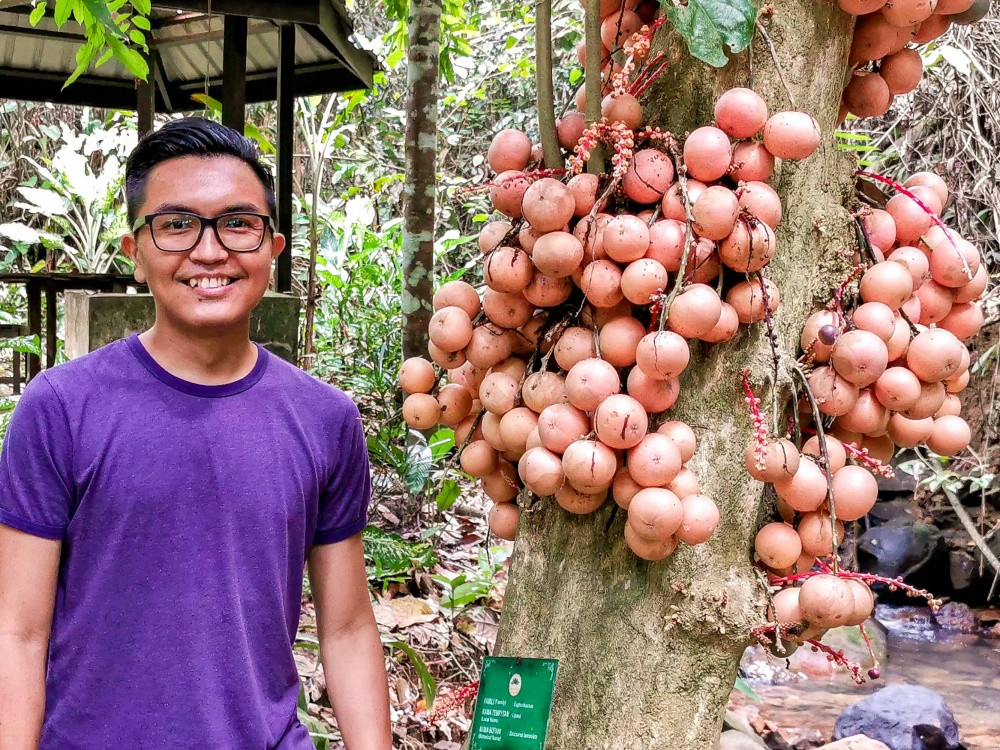 Pison stands next to a liposu or buah asam pahong tree at Kinabalu Park. The fruit is sweet and sour, as a lot of native fruits are. Photo: Pison Jaujip